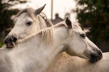 ponies grooming