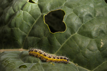 caterpillar on cabbage
