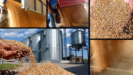 Wheat grain of successful farmer, slow motion, multiscreen