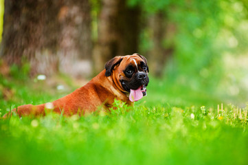 red german boxer dog portrait