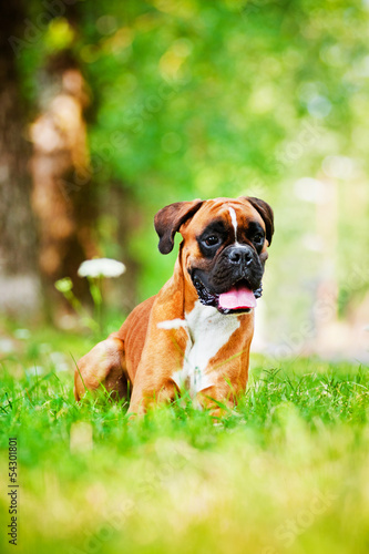 red german boxer dog portrait in summer