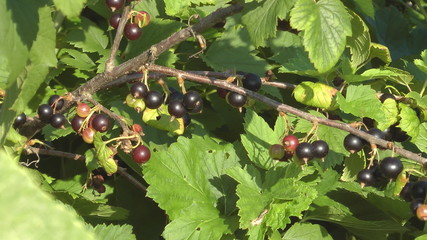 Blackcurrant bushes with berries closeup.