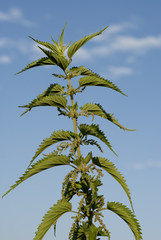 Urtica dioica, stinging nettle,