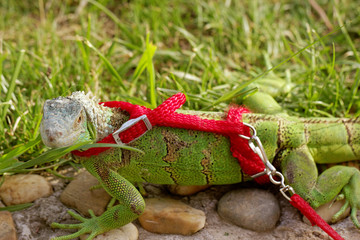 green iguana on a leash
