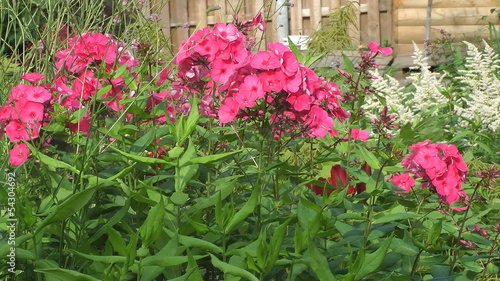 Pink phlox in flowerbed.