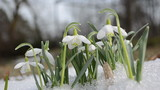 first spring snowdrop flower in snow closeup