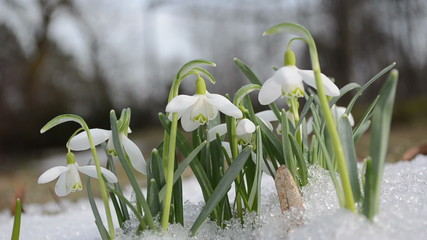 first spring snowdrop flower in snow closeup