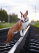 Bull terrier and railroad.