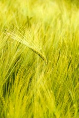 reaping wheat field summer spring harvest