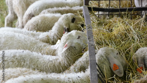 Young lambs eating hay