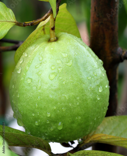 Fresh guava on a plant