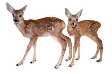 Roe deer (Capreolus capreolus) fawns isolated