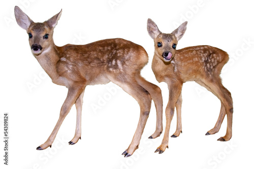 Papiers peints Roe Roe deer (Capreolus capreolus) fawns isolated