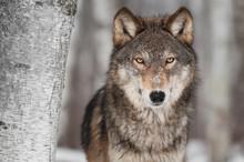 Loup gris (Canis lupus) Suivant de Bouleau