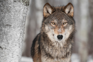Grey Wolf (Canis lupus) Next to Birch Tree