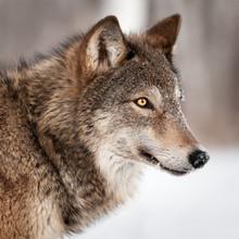 Loup gris (Canis lupus) Profil