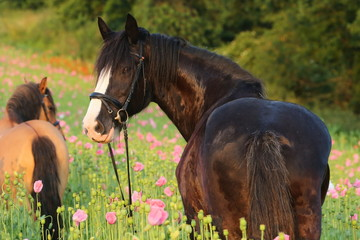 Shire mit Pony im Mohn