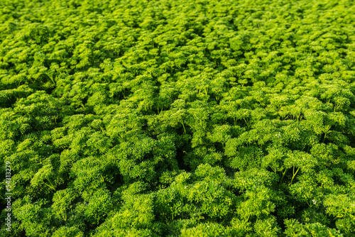 Closeup of a field with curly leaf Parsley