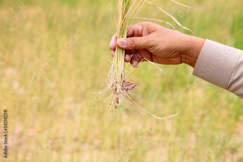 dry rice in hand of farmer