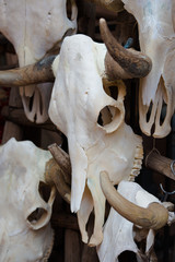 Group of bull skulls as a background
