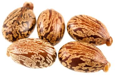 graines de  ricin commun, Ricinus communis