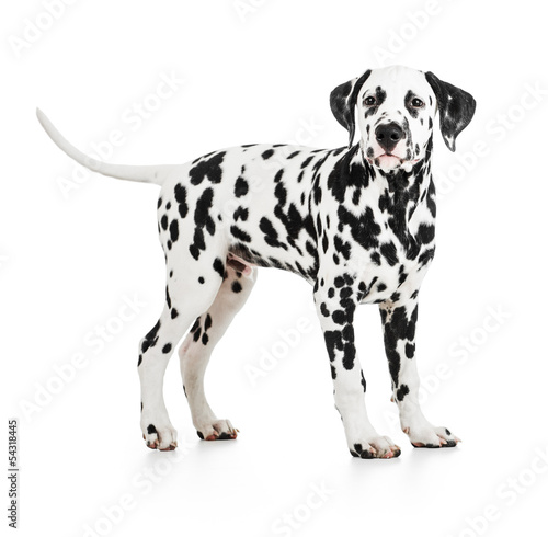 Standing Dalmatian dog isolated on white