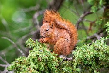 Red squirrel sitting in a juniper tree