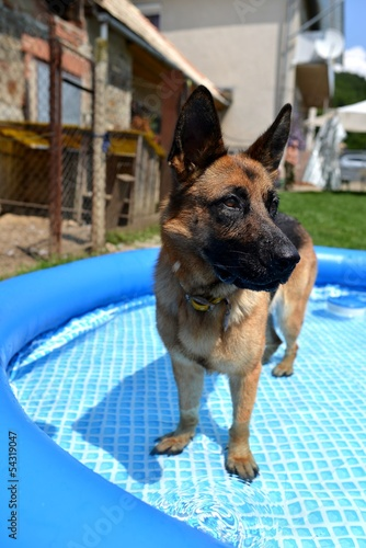 German shepherd in the pool
