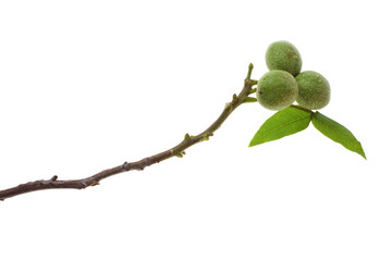 green walnut twig
