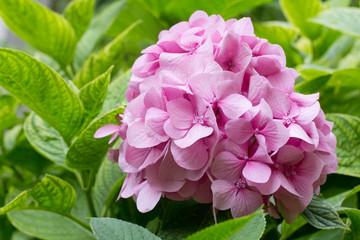 delicate pink hydrangea
