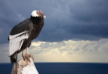 Andean condor sitting on rock