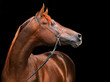 Obrazy na płótnie, fototapety, zdjęcia, fotoobrazy drukowane : Purebred Arabian Horse