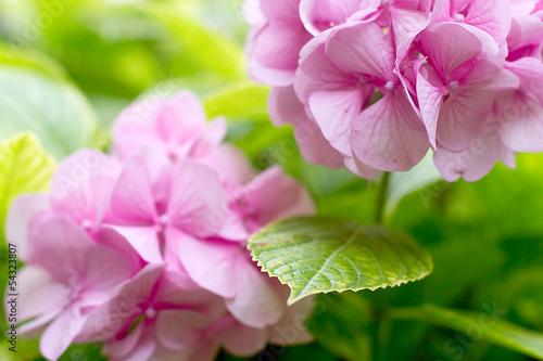 Foto op Canvas Hydrangea delicate pink hydrangea