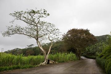 Old road through sugar cane plantation