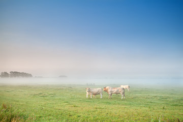 cow and bull in mist on pasture