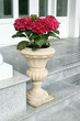 The red hydrangea in ceramic pot on stairs