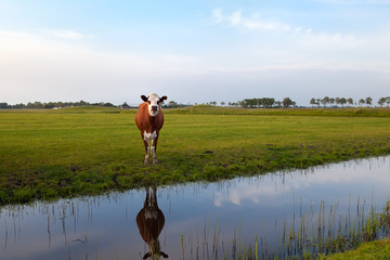 cow on pasture reflected in water