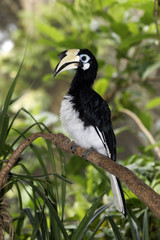 Southern or Asian Pied-hornbill, Anthracoceros albirostris