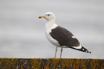 Great black-backed gull, Larus marinus
