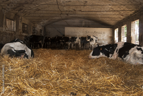 some cows in a cattleshed
