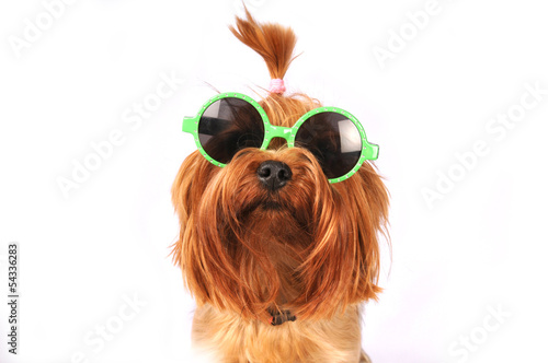 Yorkshire terrier portrait isolated on white