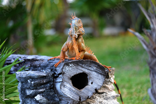 Iguana sitting on a tree trunk in Cozumel - Mexico.
