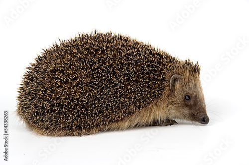 jeż, hedgehog