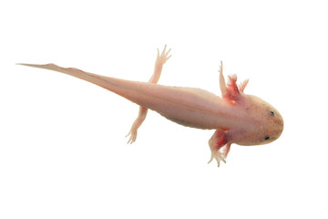 Axolotl isolated on white