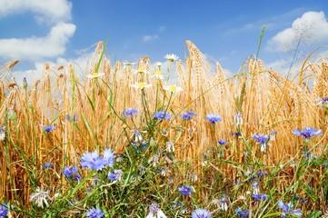 Kornblumen am Getreidefeld
