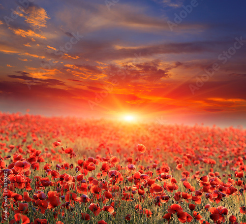 Fototapety, obrazy : poppy field on sunset