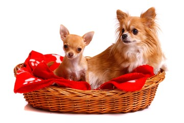 Kleine Hunde im Bett