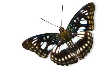 The Blackvein Sergeant butterfly