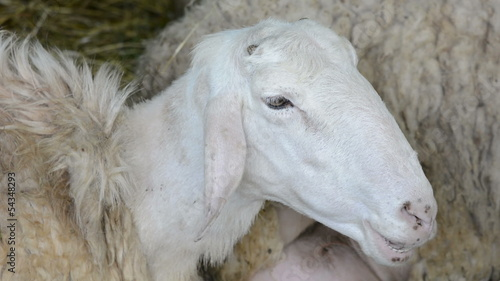 Relaxed sheep close-up