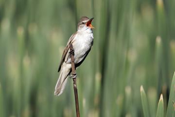 Great-reed warbler, Acrocephalus arundinaceus